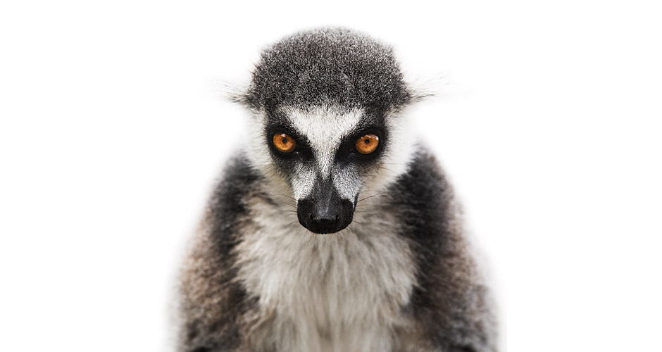 lemur-under-construction
